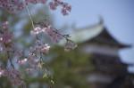 諏訪高島城と桜