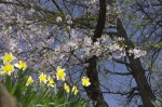 諏訪高島城の水仙と桜