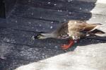 諏訪高島城の鴨