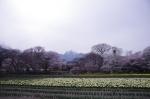 山高神代桜130329_01