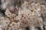 山高神代桜130329_03