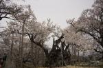 山高神代桜130329_04