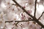 山高神代桜130329_06