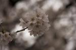 山高神代桜130329_07