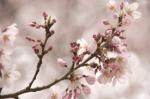 山高神代桜130329_09