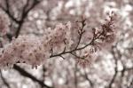 山高神代桜130329_10