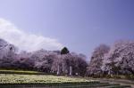 山高神代桜_130330_02