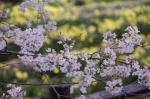 山高神代桜_130330_05
