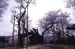 山高神代桜_130330_06