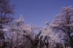 山高神代桜_130330_07