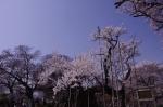 山高神代桜_130330_08