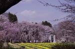 山高神代桜_130330_09