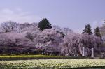 山高神代桜_130330_10