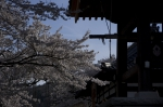 山高神代桜_1