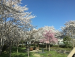 諏訪湖畔の桜