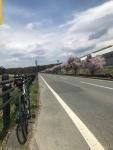 標高1,100mの桜