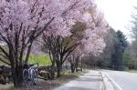 標高1,000mの桜とロードバイク