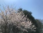 標高1100mの桜